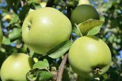 molte mele mature verdi su un ramo di albero Fotografia Stock Libera da Diritti