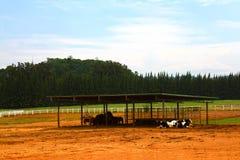 Molte mucche in bianco e nero Fotografia Stock Libera da Diritti