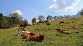 molte mucche che pascono sul plateau vicino alle alpi di estate Immagine Stock Libera da Diritti