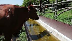 Molte mucche differenti bevono l'acqua dalla depressione video d archivio