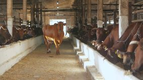 Molte mucche sugli animali da allevamento Il toro entra in stalla nel suo posto video d archivio