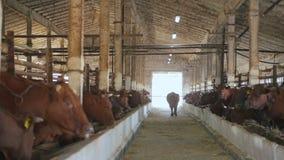 Molte mucche sugli animali da allevamento Il toro entra in stalla nel suo posto stock footage