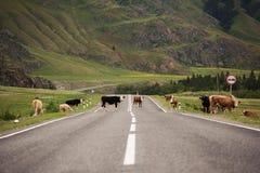 Molte mucche sulla strada rurale Fotografia Stock Libera da Diritti