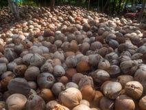 Molte noci di cocco si trovano nella tonalit? delle palme fotografia stock libera da diritti