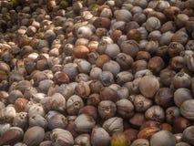 Molte noci di cocco si trovano nella tonalit? delle palme immagine stock libera da diritti