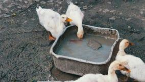 Molte oche bevono l'acqua dalla depressione sporca sull'azienda agricola dopo la pioggia archivi video