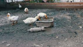 Molte oche bevono l'acqua dalla depressione sporca sull'azienda agricola dopo la pioggia video d archivio