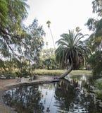 Molte oche del Canada restano vicino allo stagno ed alla palma Fotografie Stock Libere da Diritti