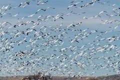 Molte oche polari nei voli sopra un ` s dell'agricoltore sistemano con gli alberi e Fotografie Stock
