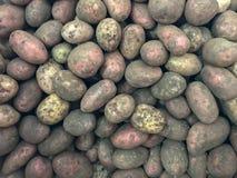 Molte patate hanno scavato dal giardino fotografie stock libere da diritti
