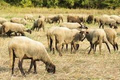 Molte pecore Immagini Stock Libere da Diritti