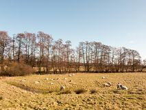 molte pecore del terreno coltivabile che pascono riposo nella fila del campo di erba degli alberi Fotografie Stock