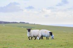 Molte pecore sull'azienda agricola Fotografia Stock Libera da Diritti
