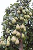 Molte pere verdi su un albero Fotografia Stock Libera da Diritti