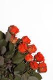 Molte rose rosse su un fondo bianco Fotografia Stock Libera da Diritti