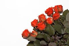 Molte rose rosse su un fondo bianco Fotografie Stock Libere da Diritti