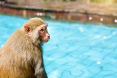 Molte scimmie nuotano nello stagno, mangiano il gioco e prendono il sole al sole, i tropici fotografia stock