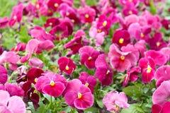 Molte viole cremisi nel letto di fiore Fotografia Stock