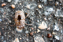Molted Cicada Exoskeleton. A cicada has molted and left this exoskeleton remaining on the ground Stock Photography