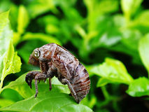Molted cicada skin Stock Image
