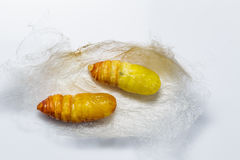 Molted cocoons of atlas moth Royalty Free Stock Photos