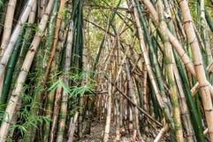 Molti alberi di bambù huddled insieme Fotografia Stock Libera da Diritti
