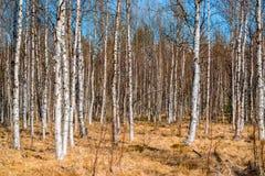 Molti alberi di betulla senza foglie in primavera Fotografia Stock