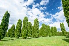 Molti alberi di columna del thuja nel giardino convenzionale di estate latvia Fotografia Stock