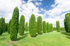 Molti alberi di columna del thuja nel giardino convenzionale di estate latvia Immagine Stock