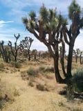 Molti alberi di Joshua nel paesaggio del deserto Immagine Stock