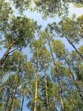 Molti alberi e cielo blu di betulla nella foresta Immagini Stock
