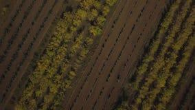 Molti alberi si sviluppano nelle file Sparato sul fuco video d archivio