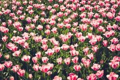 Molti bei tulipani rosa nel giardino del parco della città del giorno soleggiato della molla Reticolo floreale all'aperto Fotografia Stock