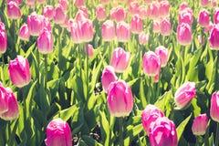 Molti bei tulipani rosa nel giardino del parco della città del giorno soleggiato della molla Reticolo floreale all'aperto Immagine Stock Libera da Diritti