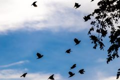 Molti bei uccelli che volano indietro al loro movimento di fuga di migrazione del paesaggio della natura del cielo del nero della Fotografie Stock