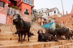 Molti bufali neri hanno resto sulle vie Immagini Stock