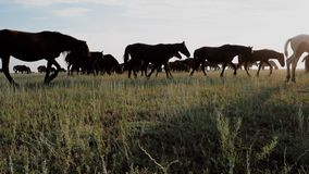 Molti cavalli di pascolo che galoppano al pascolo sulla steppa all'alba video d archivio
