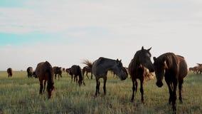 Molti cavalli selvaggii che pascono sul campo verde al giorno soleggiato archivi video