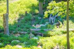 Molti cervi Sika appollaiati sulla collina immagine stock