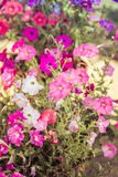 Molti colori della petunia Primo piano fotografie stock libere da diritti
