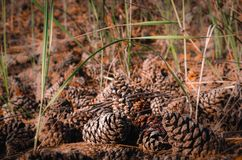 Molti coni sulla terra alla luce solare Primo piano, fuoco selettivo fotografia stock libera da diritti