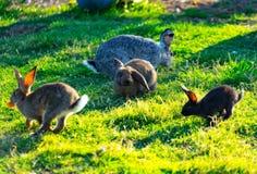 Molti conigli colorati con capelli lanuginosi che si siedono sull'erba verde sul prato immagini stock