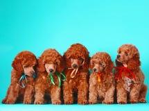 Molti cuccioli rossi svegli del barboncino La famiglia di cani si siede su un fondo del turchese Fotografie Stock