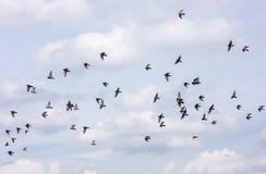 Molti dei piccioni che pilotano il fondo del cielo Fotografia Stock