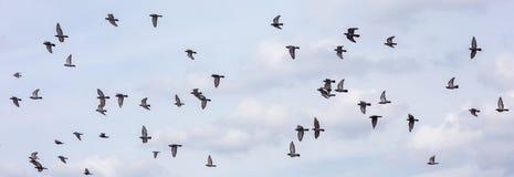 Molti dei piccioni che pilotano il fondo del cielo Fotografie Stock Libere da Diritti