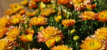 Molti fiori decorativi che fioriscono nel vaso da fiori del giardino fotografia stock libera da diritti