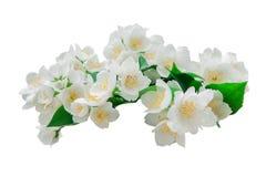 Molti fiori del gelsomino isolati Fotografia Stock Libera da Diritti