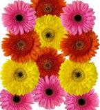 Molti fiori del gerber isolati su fondo bianco, backgrou floreale fotografia stock libera da diritti