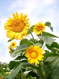 Molti fiori del girasole Fotografie Stock Libere da Diritti