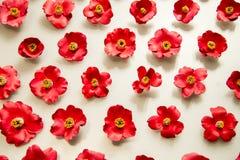 Molti fiori della camelia di rosso su fondo bianco Fotografie Stock